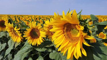 sunflower splendor in north & south dakota