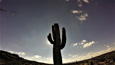 giant, thorny symbols of the american west in arizona