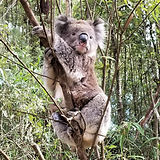 10 wild koala (9).jpg