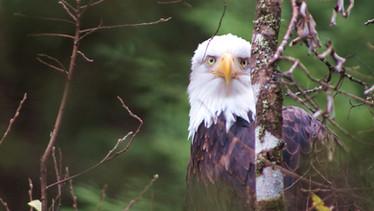 bald eagles, glaciers & rainforests in alaska