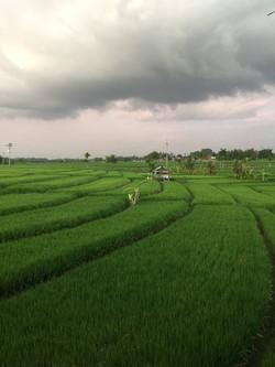 Rice Paddy Views