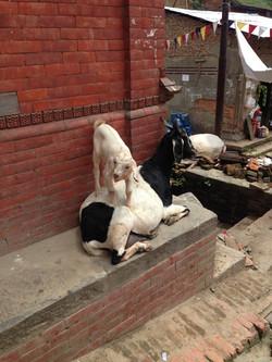 やぎonやぎin Bhaktapur