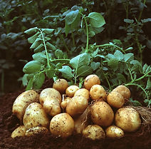 potato pic 1.jpg