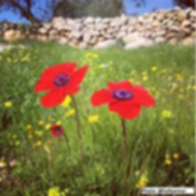 hafez_omar_poppies.JPG