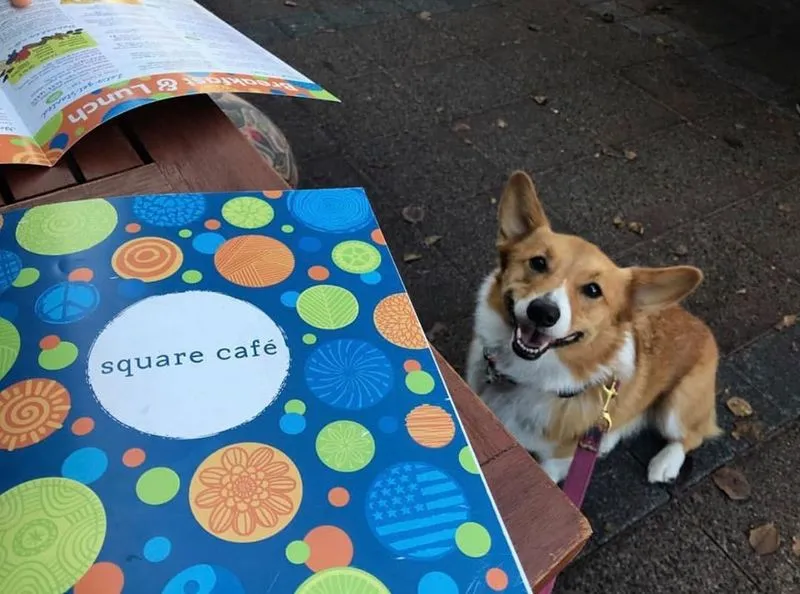 A cute corgi looks up at a picnic table with a Square Cafe menu