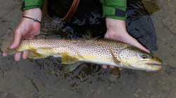 Saugeen River, Brown Trout