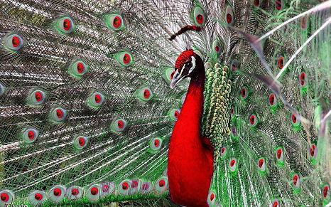 rede peacock.jpg