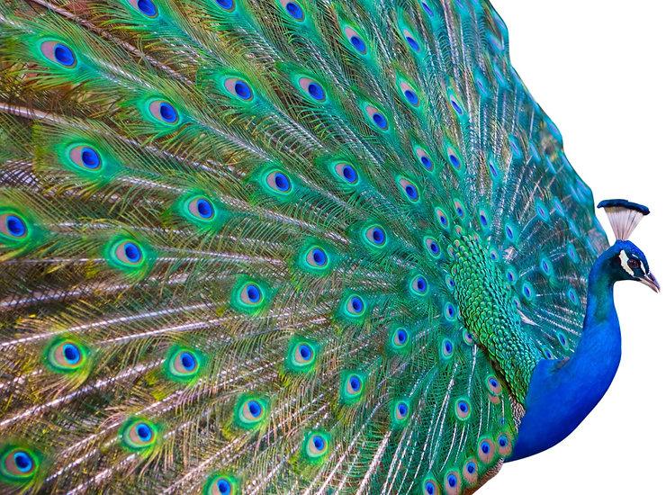 peacock_edited_edited_edited.jpg