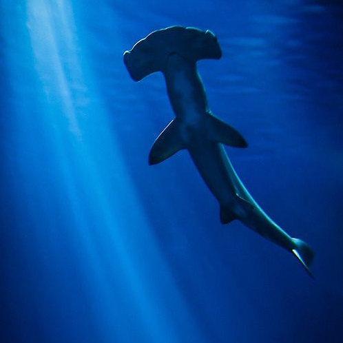 Tiburón Martillo TM 10ml