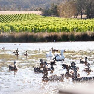 Ducks frolicking on the dam
