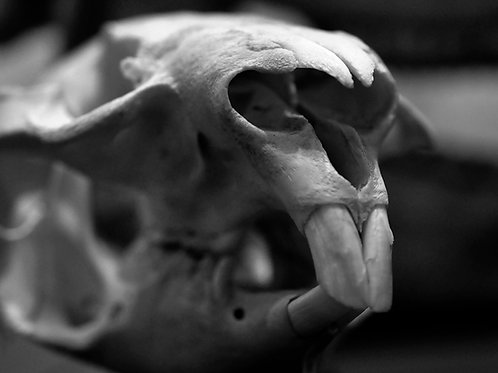 Piercing Point (SKULL 17): Archival Anatomical Photo Print in Black and White