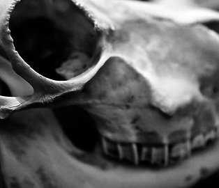 Favorite Child (SKULL 01): Archival Anatomical Photo Print in Black and White