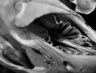 Anatomical Print - Tapir Skull - Alluvial Cove