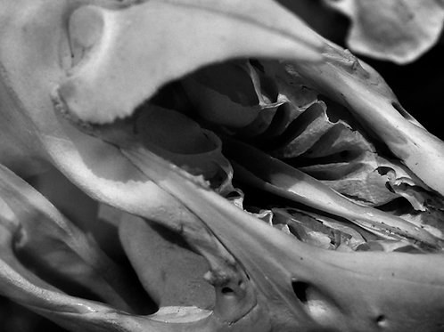 Alluvial Cove (SKULL 05): Archival Anatomical Photo Print in Black and White