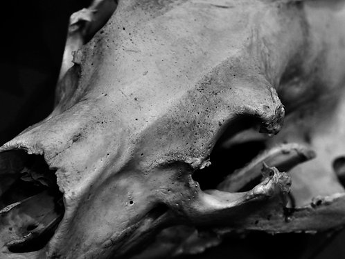 Ancient Remnant (SKULL 08): Archival Anatomical Photo Print in Black and White