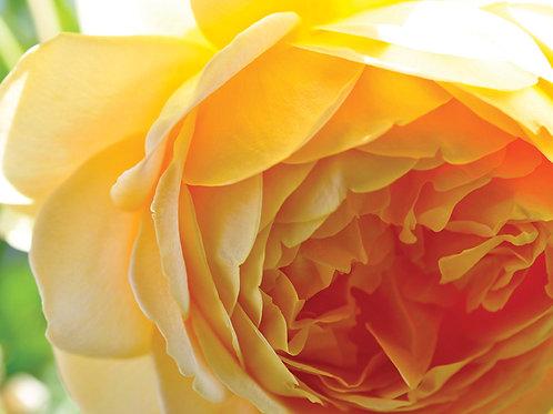 Botanical Photo Print: Golden Hour in Yellow Orange
