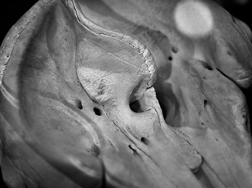 Lunar Dusk (SKULL 02): Archival Anatomical Photo Print in Black and White