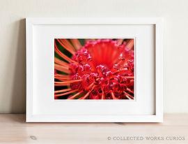 Pincushion Protea - fine art botanical print for sale