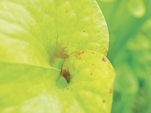 Botanical Photo Print: Neon Strongman in Chartreuse and Lime Green