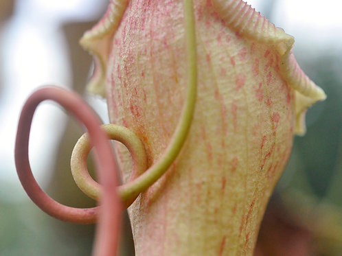Botanical Photo Print: Double Loop in Palest Yellow and Rose Pink