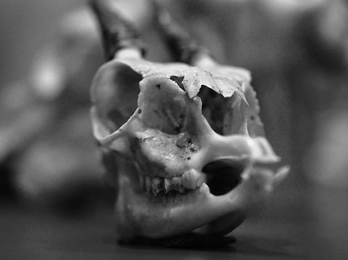 Heraldic Beast (SKULL 14): Archival Anatomical Photo Print in Black and White
