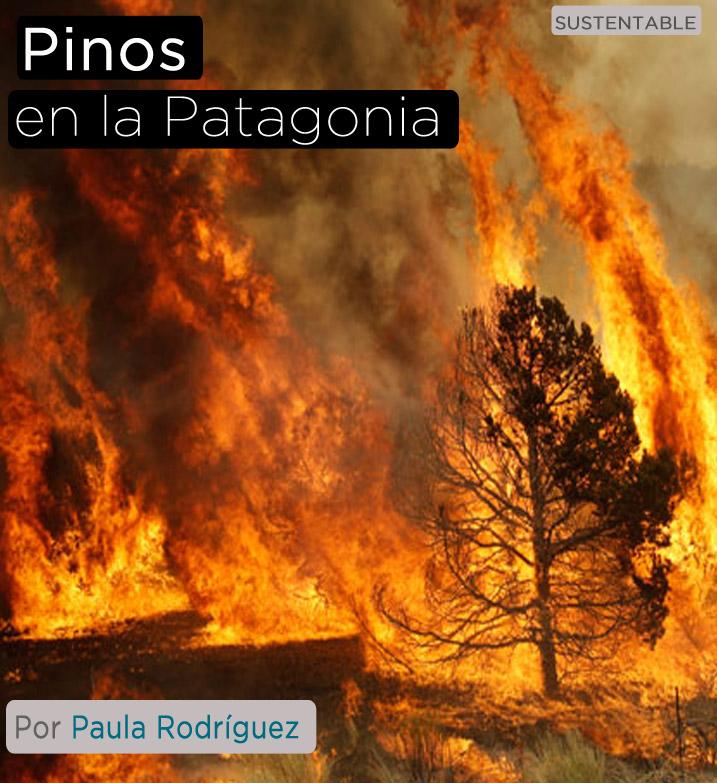 Pinos en la Patagonia