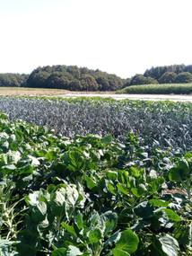 plantation choux poireaux