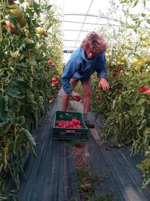 récolte tomate