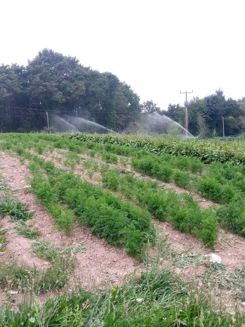 semis carotte