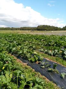 plantation courgette