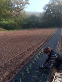 plantation oignons