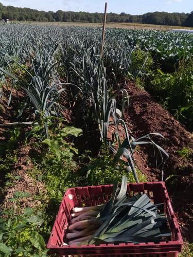récolte poireaux