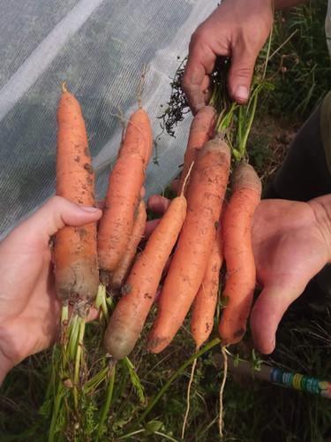 carottes fraîchement récoltées