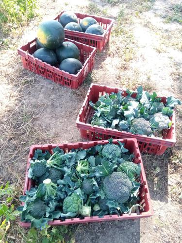 récolte brocolis pastèque