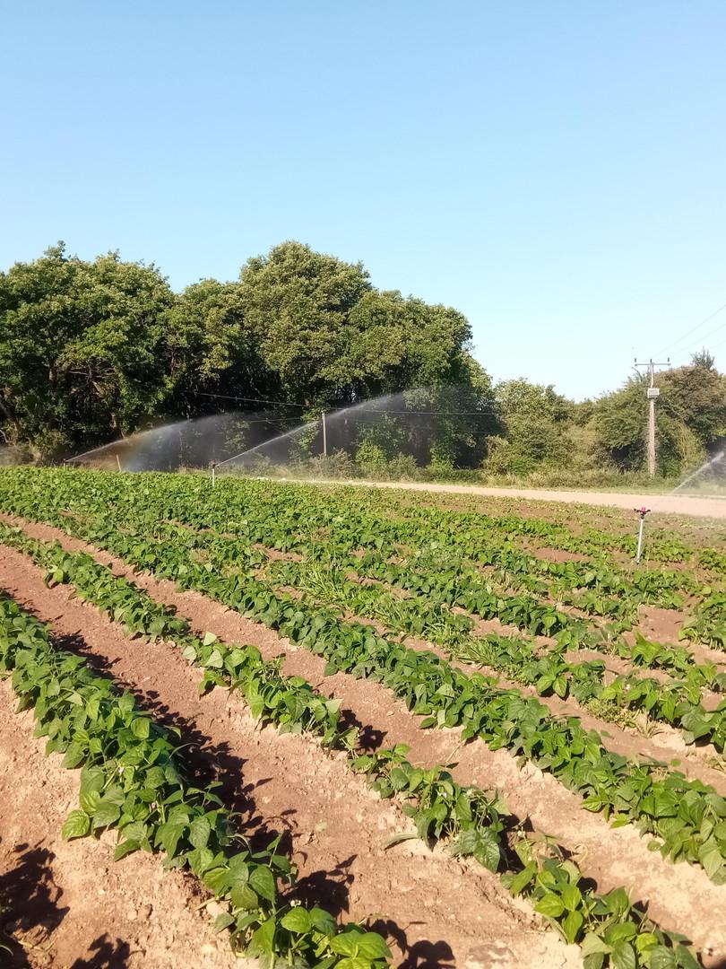 plantation haricots verts