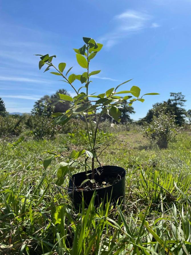 失敗しないブルーベリーの苗木の植え方:前編 農家が分かりやすく伝授します