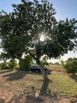 Olivenbaum_Mallorca