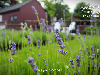 Lavender Update