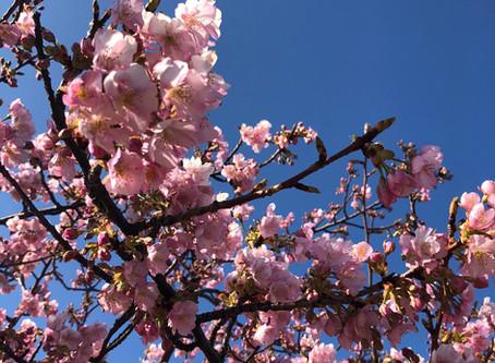 桜はやっぱり・・・‼︎