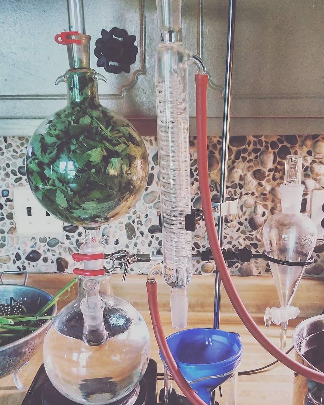 Catnip Hydrosol Making