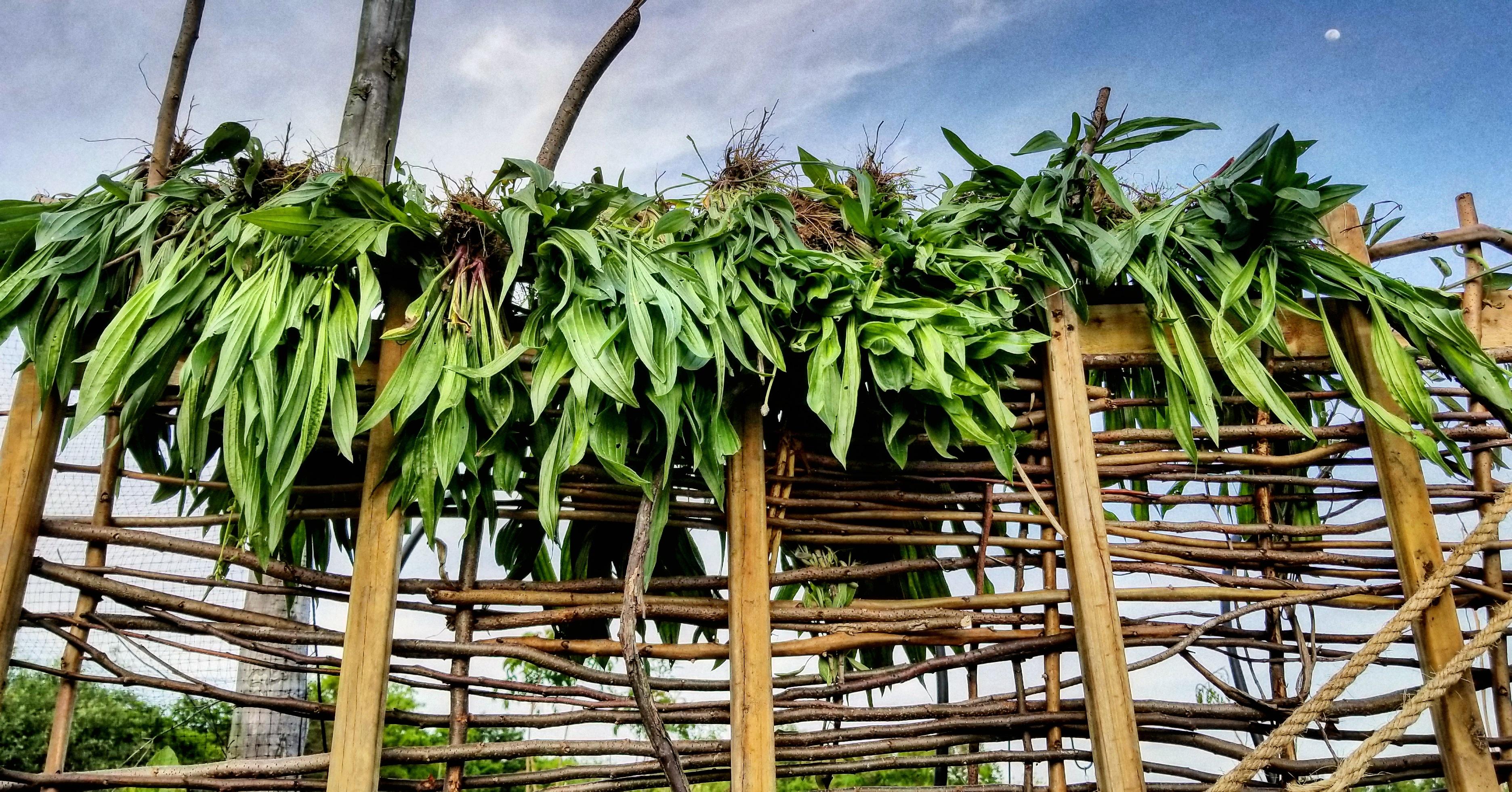 plantain harvest