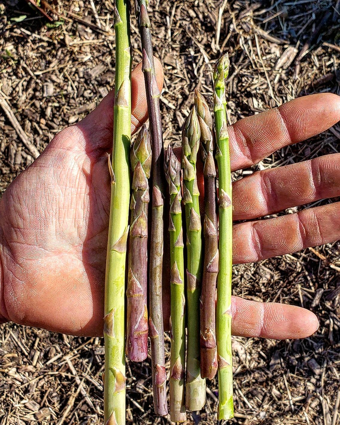 asparagus 04.09.19