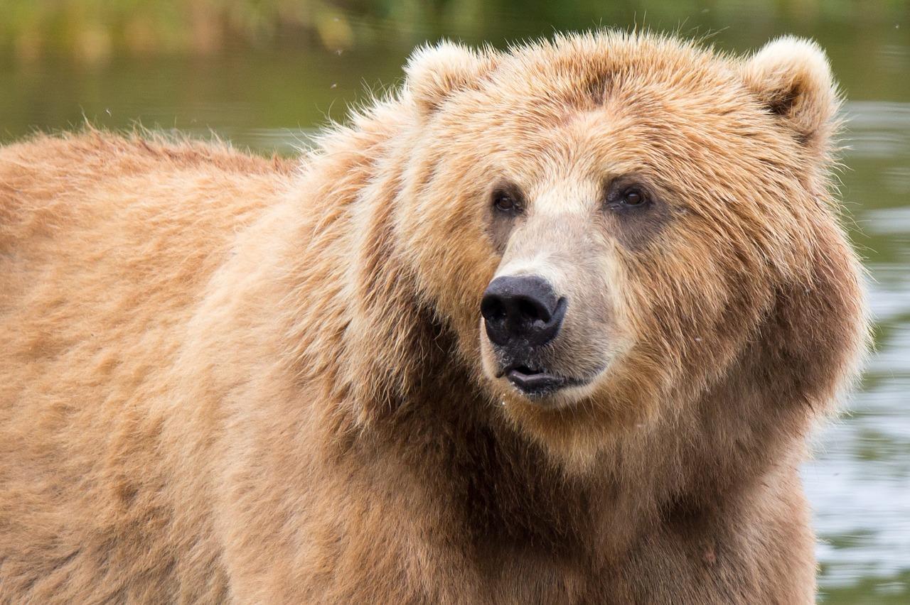 kodiak-brown-bear-1622667_1280