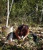 Cavage ou ramassage de Truffe