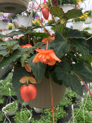 Illumination Begonia Hanger