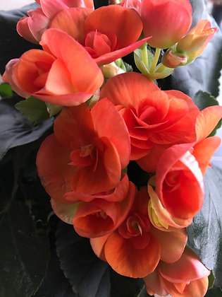 "Rieger Begonia 4"" pot"