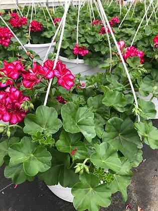 Ivy Geranium Hanger
