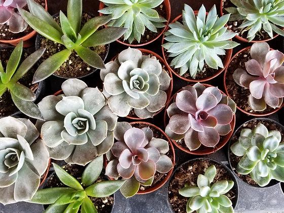 "3"" Succulents"