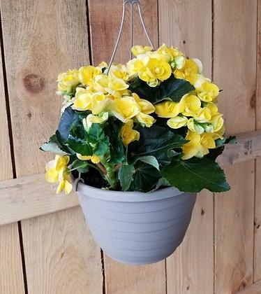 Rieger Begonia Hanger