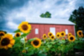 barn sunflowers.jpeg